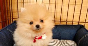 【出会い編】幼児がいるのに子犬をお迎えしても本当に大丈夫?ぽぽちのお迎えを決意したきっかけ。